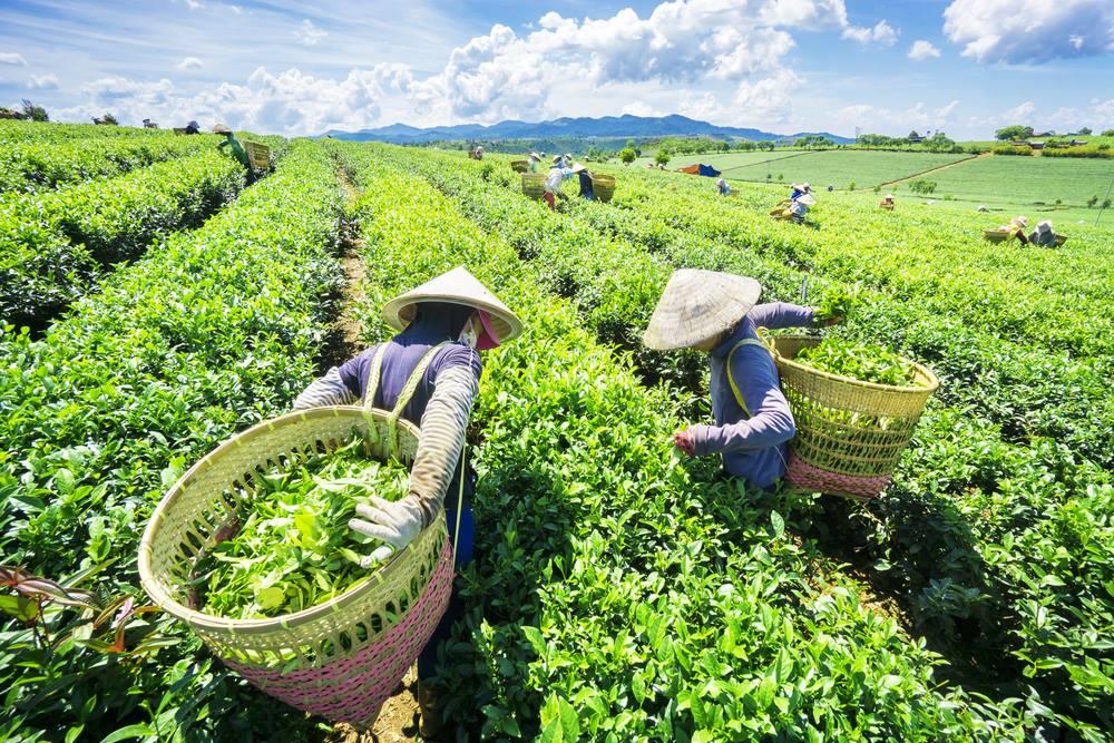Công nhân thu hoạch chè sáng sớm tại Đồi chè Cầu Đất Đà Lat. tour săn mây Đà Lạt