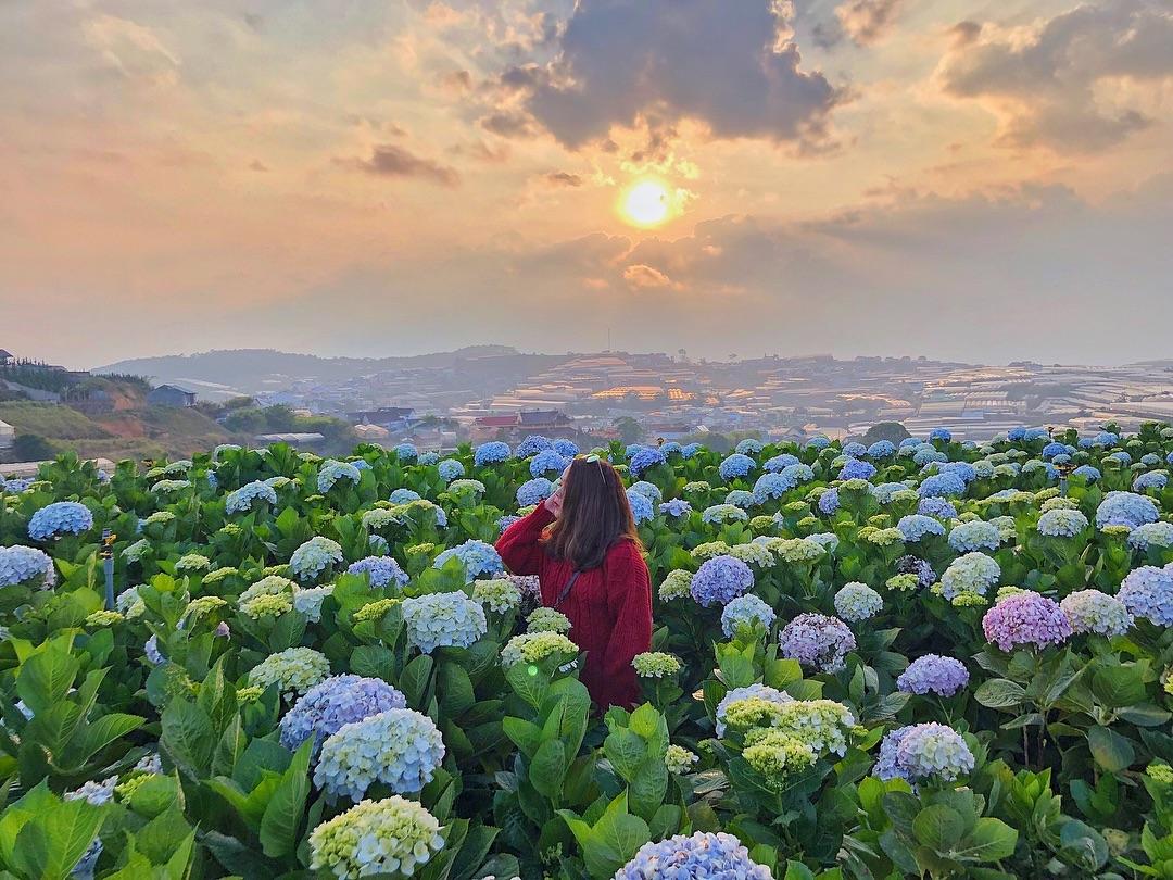 Cánh đồng hoa Cẩm Tú Cầu- Nấc thang lên thiên đường Đà Lạt