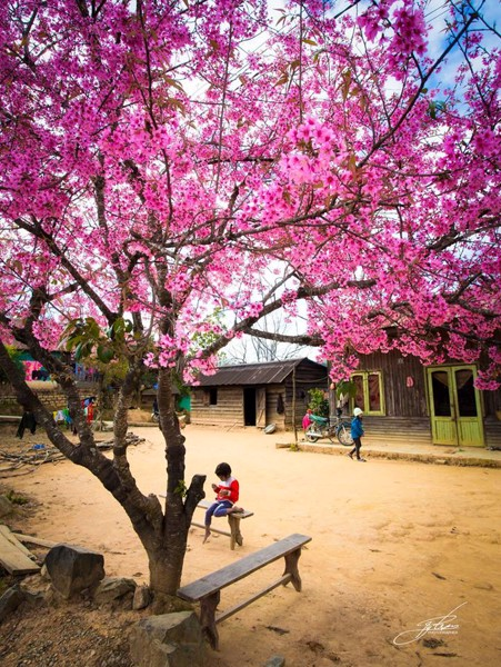 Buôn làng K'ho khi mùa xuân về, hoa Mai anh đào nở khắp lối.