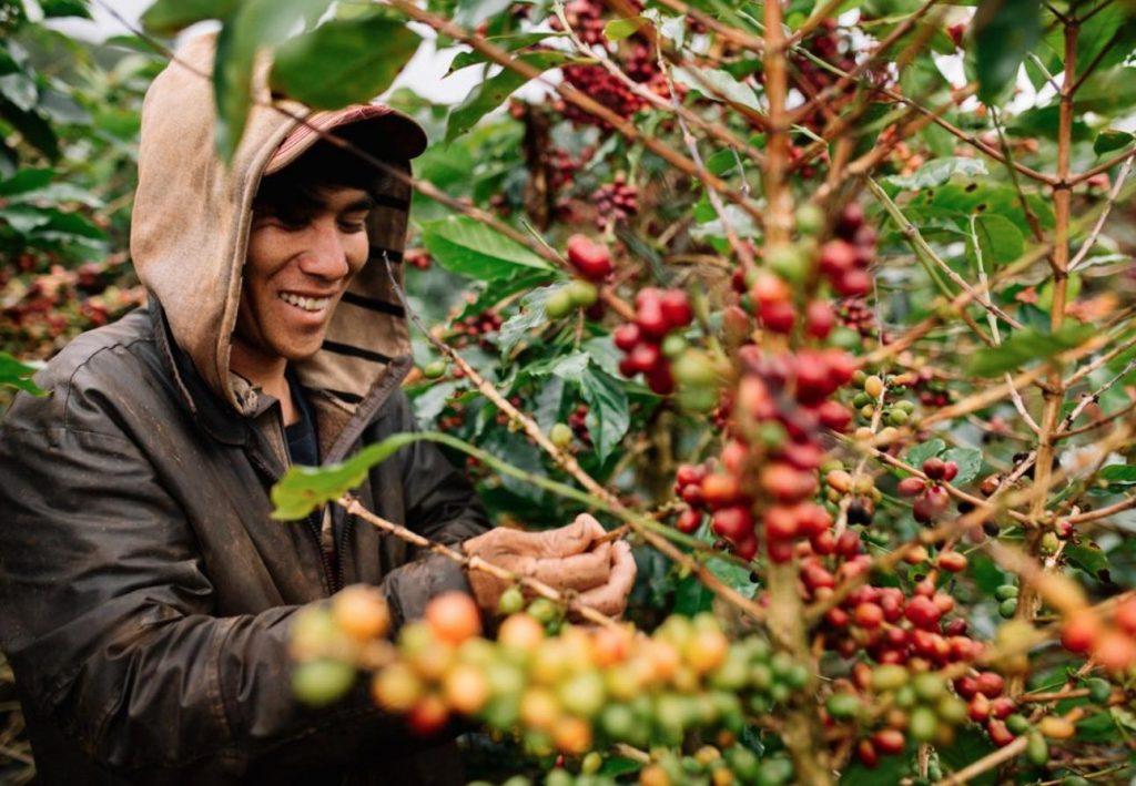 Người dân thu hoạch những hạt cà phê chín đỏ tại trang trại cà phê Mê Linh tour săn mây Đà Lạt