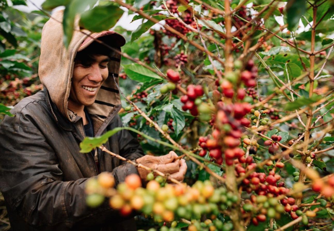 Người dân thu hoạch những hạt cà phê chín đỏ tại trang trại cafe Mê Linh tour săn mây Đà Lạt