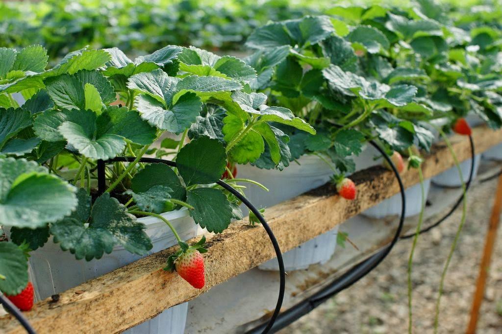 Vườn dâu Đà Lạt với những trái đỏ chín mọng. tour Đà Lạt 1 ngày lạc lối thành phố hoa