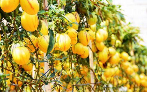 Trang trại rau hoa Vạn Thành Đà Lạt với nơi trồng dưa pepino lạ mắt.