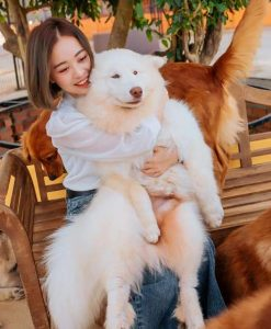 Giống chó tuyết trắng với bộ lông mềm mịn, ôm cực đã tại Nông trại cún Puppy farm Đà Lạt.