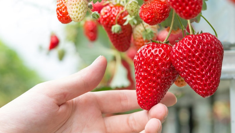 Bạn sẽ được tự tay hái và nếm thử những trái dâu chín đỏ tại vườn dâu Đà Lạt. tour săn mây Đà Lạt