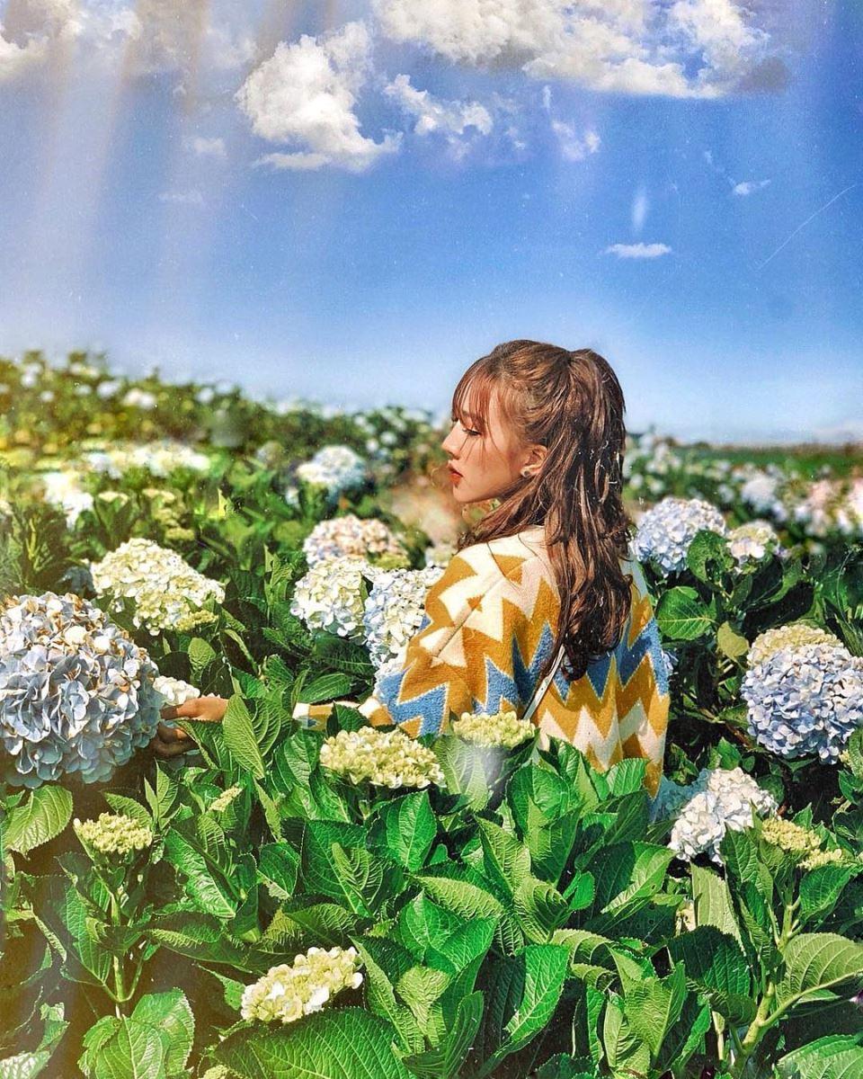 Vườn hoa Cẩm tú cầu Đà Lạt với những góc hình vi diệu.