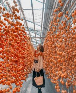 Hồng treo gió Đà Lạt với công nghệ Nhật Bản và những trái hồng hấp dẫn.tour săn mây Đà Lạt