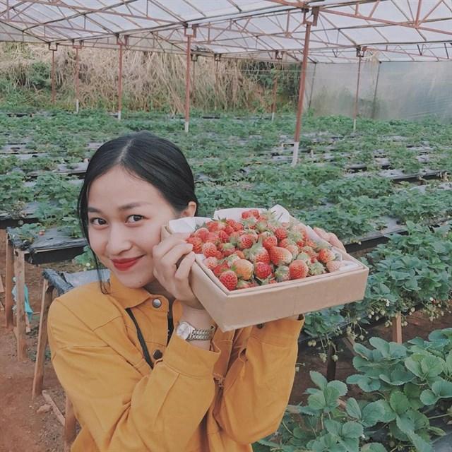 Vườn dâu Đà Lạt sẽ là nơi bạn được tự tay hái và nếm thử những trái dâu chín mọng