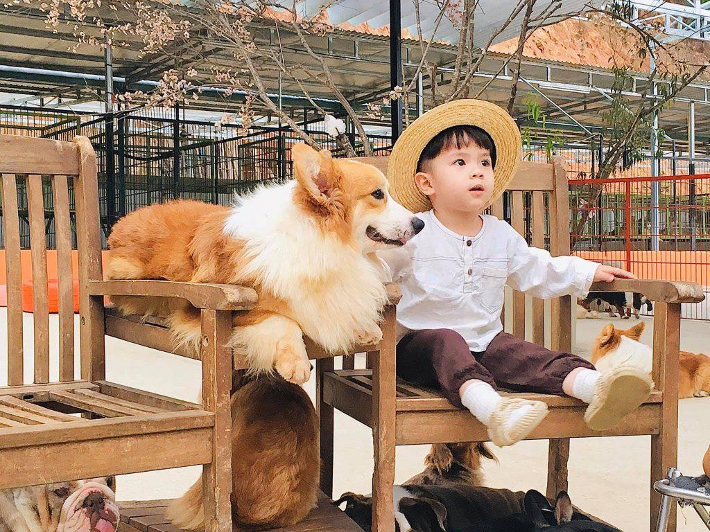 Giống Corgi thân lùn cực kì cute tại Nông trại cún Puppy farm Đà Lạt.
