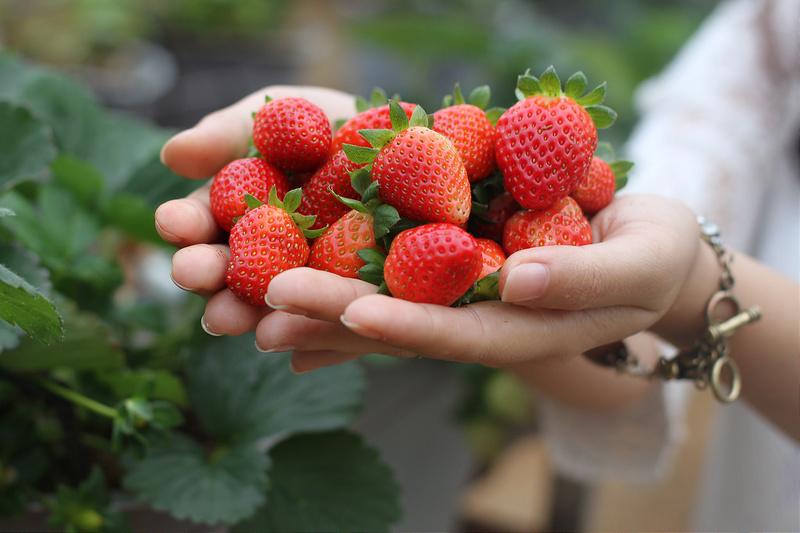 Vườn dâu Đà Lạt là nơi bạn tự tay hái và nếm thử những trái đỏ chín mọng. tour săn mây Đà Lạt