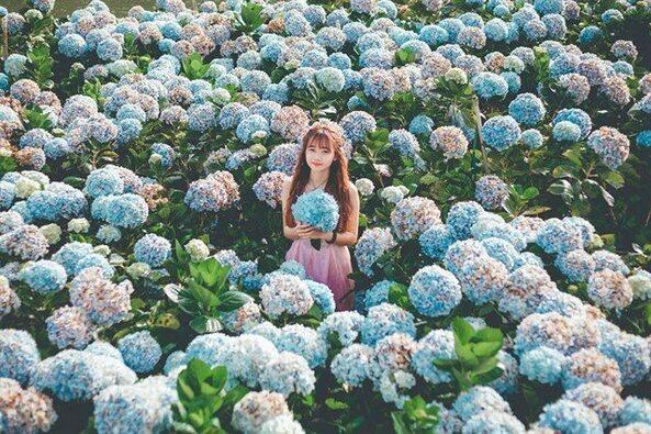 Vườn hoa cẩm tú cầu Đà Lạt với trăm ngàn hoa nở rộ.