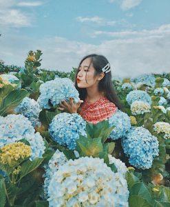 Những bông hoa Cẩm tú cầu nở rộ rực rỡ khiến du khách không thể bỏ qua. tour săn mây Đà Lạt