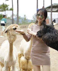 1 nữ du khách cho lạc đà Alpaca ăn tại Zoodoo.