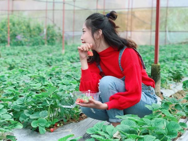 Bạn có thể tự tay hái và nếm thử những trái đỏ chín mọng tại vườn dâu Đà Lạt.