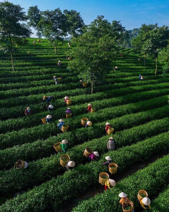 Toàn cảnh công nhân thu hoạch chè tại đồi chè Cầu Đất Đà Lạt.