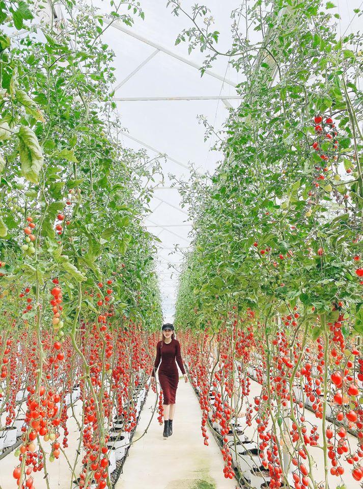Vườn cà chua bi đỏ chín mọng tại nông trại là nơi bạn chụp cho mình những bức hình đẹp lung linh.