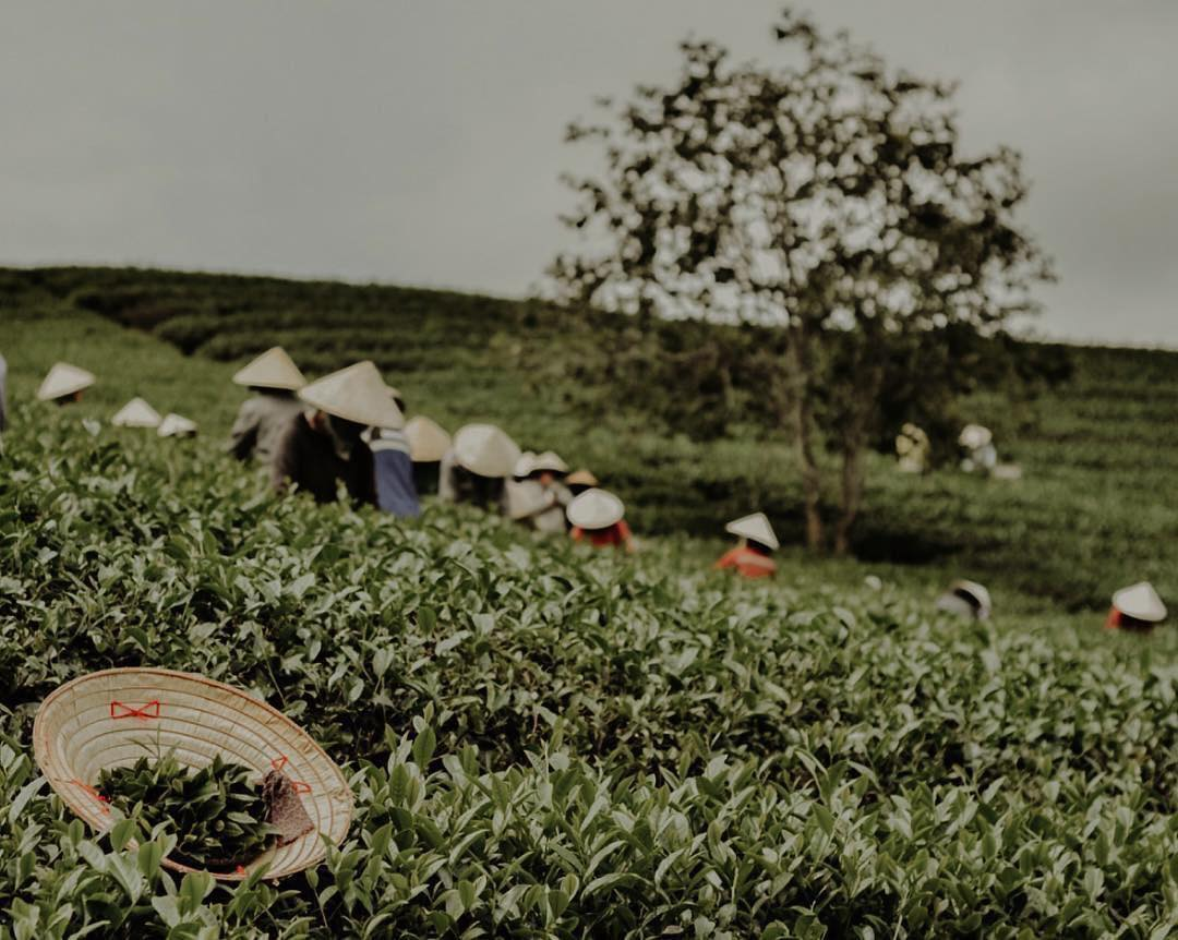 Những công nhân đang cần mẫn thu hoạch những lá chè tươi ngon nhất tại đồi chè Cầu Đất Đà Lạt. a