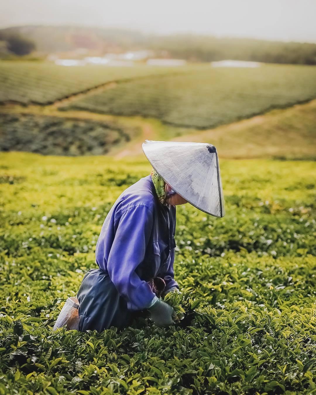 Công nhân thu hoạch chè sáng sớm tại đồi chè Cầu Đất.