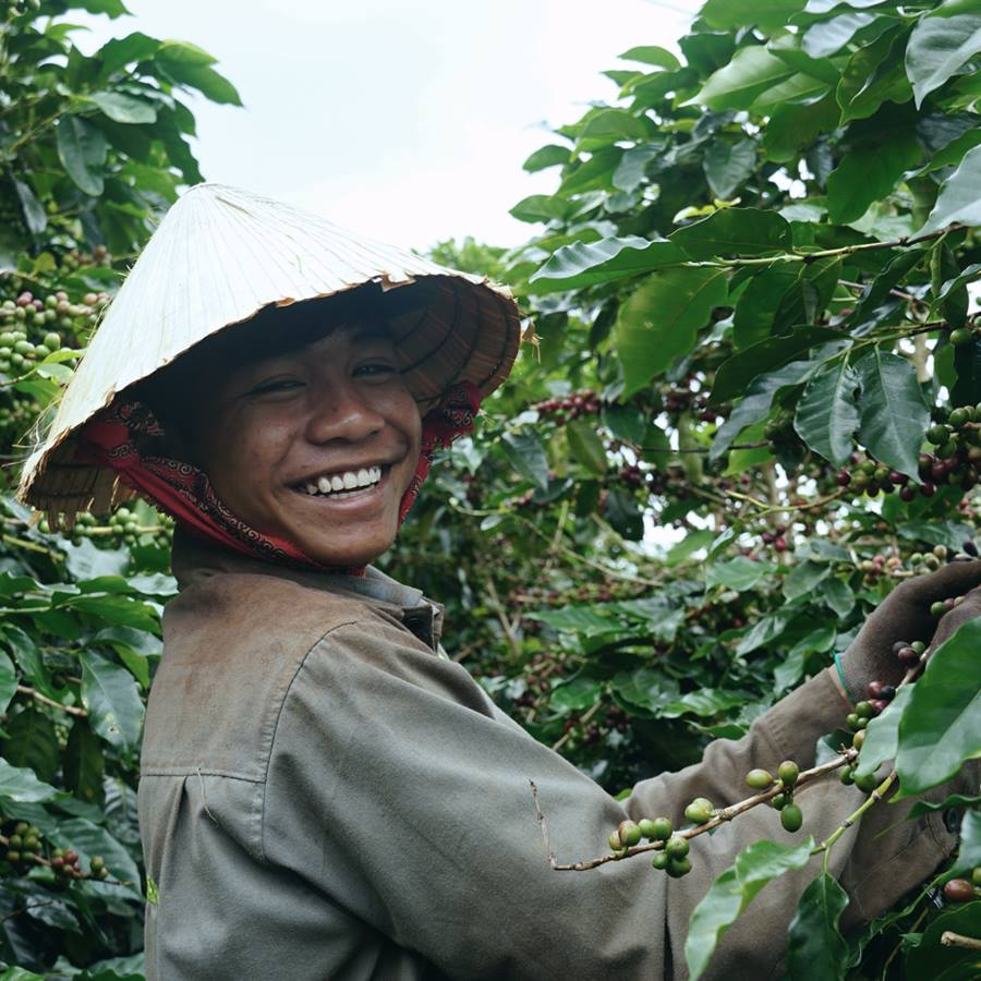 1 công nhân đang thu hoạch cà phê tại trang trại cà phê Cầu Đất nổi tiếng.
