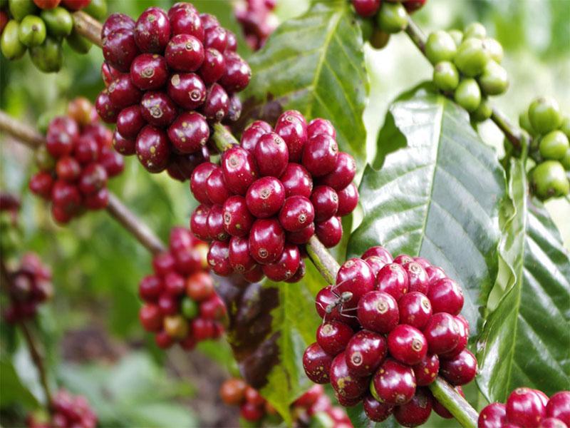 Những hạt cà phê chín đỏ tại trang trại cafe Mê Linh Đà Lạt