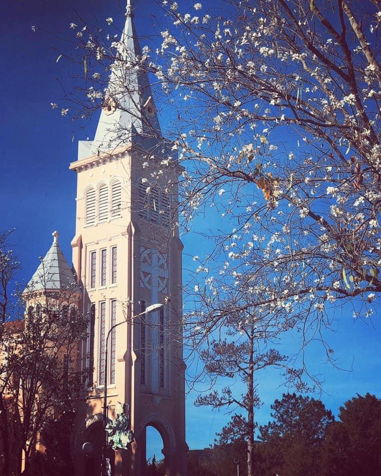 Nhà thờ chính tòa Đà Lạt đẹp lung linh khi hoa ban trắng nở rộ.