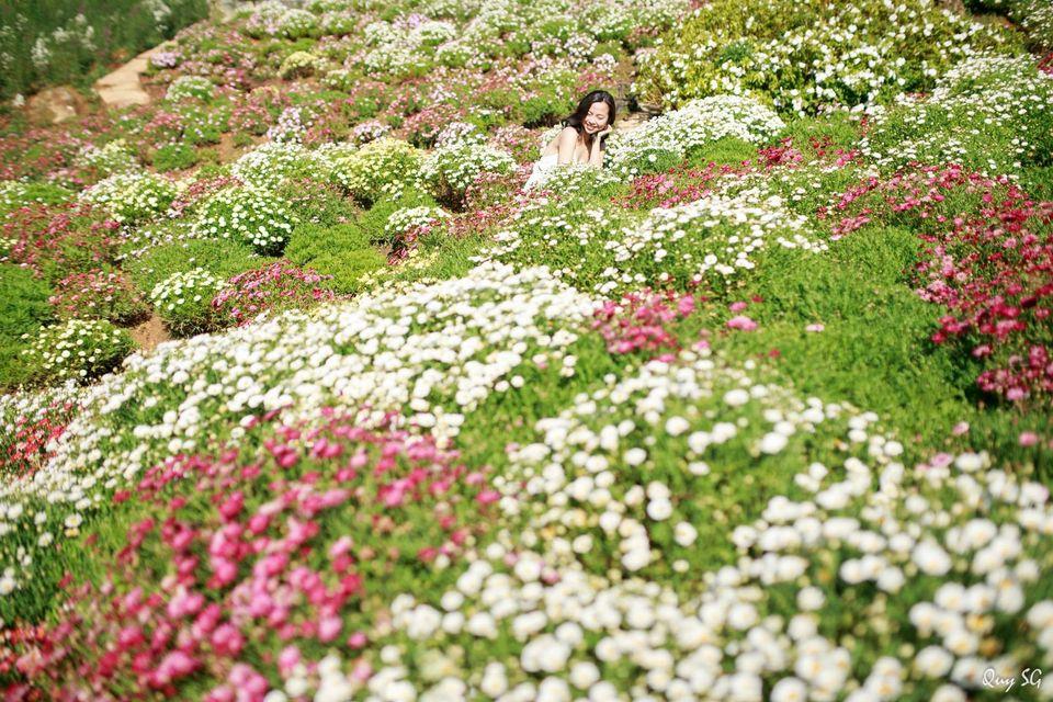 Vườn trăm hoa cúc họa mi nở rộ là điểm không thể bỏ qua khi đến Quê garden.