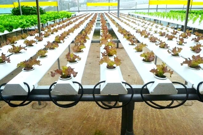 Rau thủy canh phát triển rất nhanh do được cung cấp đầy đủ các chất dinh dưỡng và môi trường tự nhiên trong nhà kính được điều chỉnh nhiệt độ hết sức lý tưởng