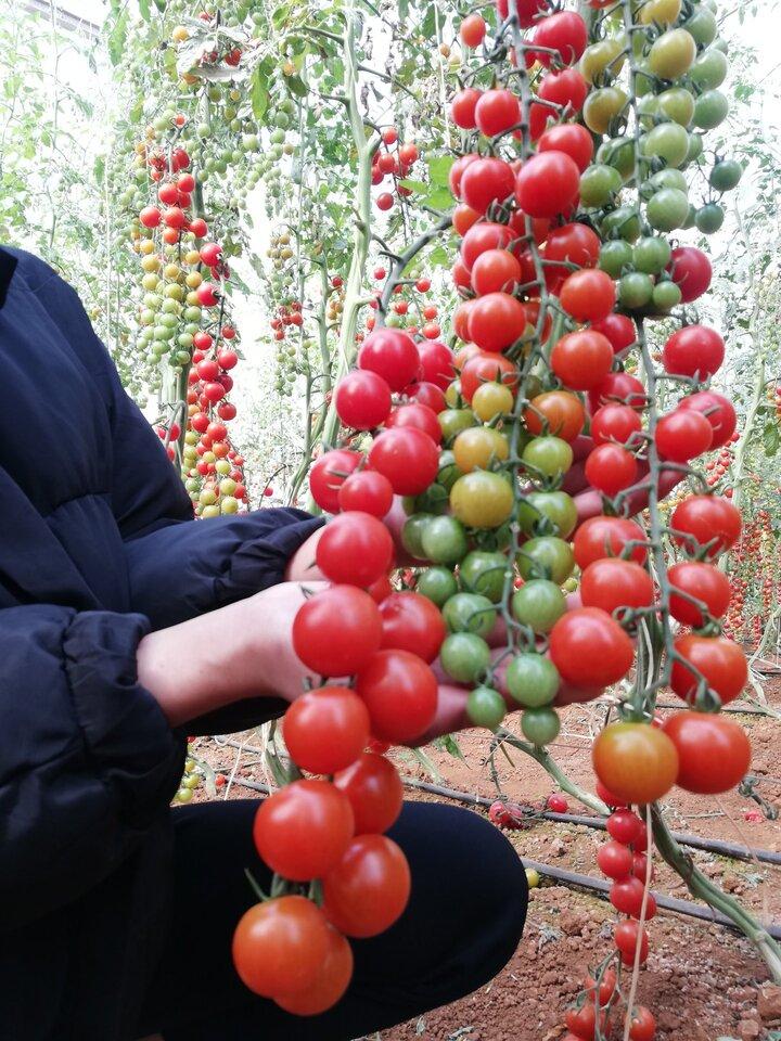 Vườn cà chua bi trĩu những trái chín đỏ căng mọng.