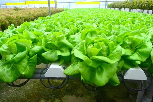 Những búp xà lách xanh mơn mởn được trồng theo công nghệ thủy canh hồi lưu tiên tiến, vô cùng sạch, có thể ăn ngay tại vườn.