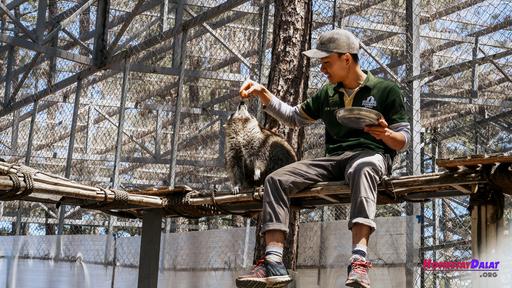 1 chú gấu mèo đang được nhân viên chăm sóc tại sở thú Zoodoo Đà Lạt.