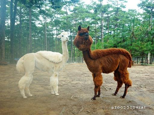 Hai bạn Alpaca đã được cắt tỉa đầy phong cách tại Zoodoo Đà Lạt.