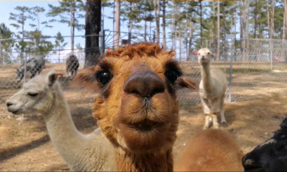 Xin chào mọi người, mình là lạc đà Alpaca nhé!