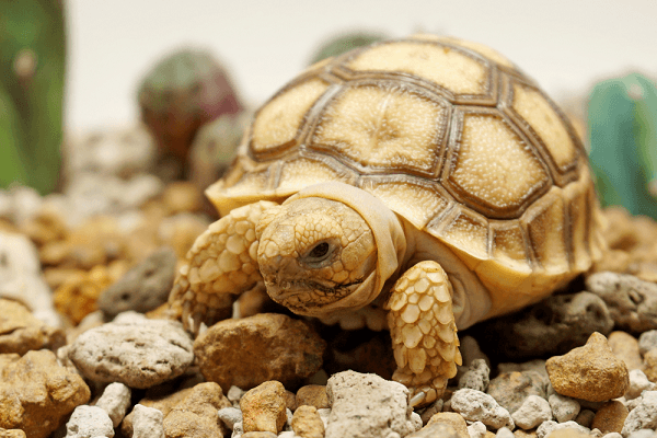 1 chú rùa Sulcata khi còn nhỏ tại Zoodoo Đà Lạt.