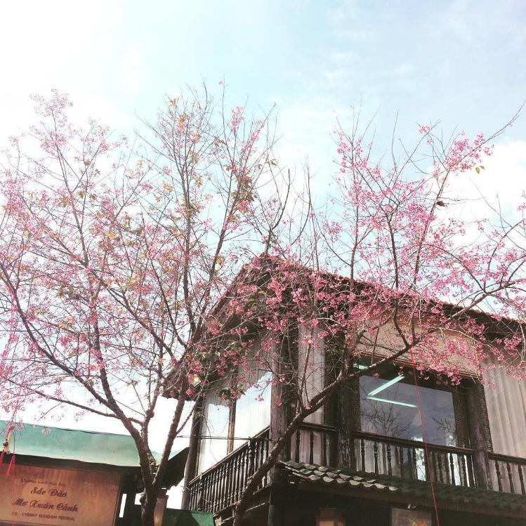 XQ Đà Lạt đẹp lung linh trong mùa hoa mai anh đào nở rộ.