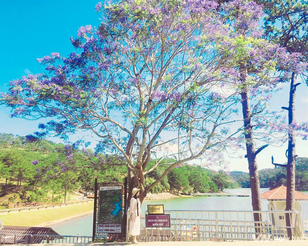 Phượng tím nở rộ bên hồ Đa Thiện đẹp lãng mạn.