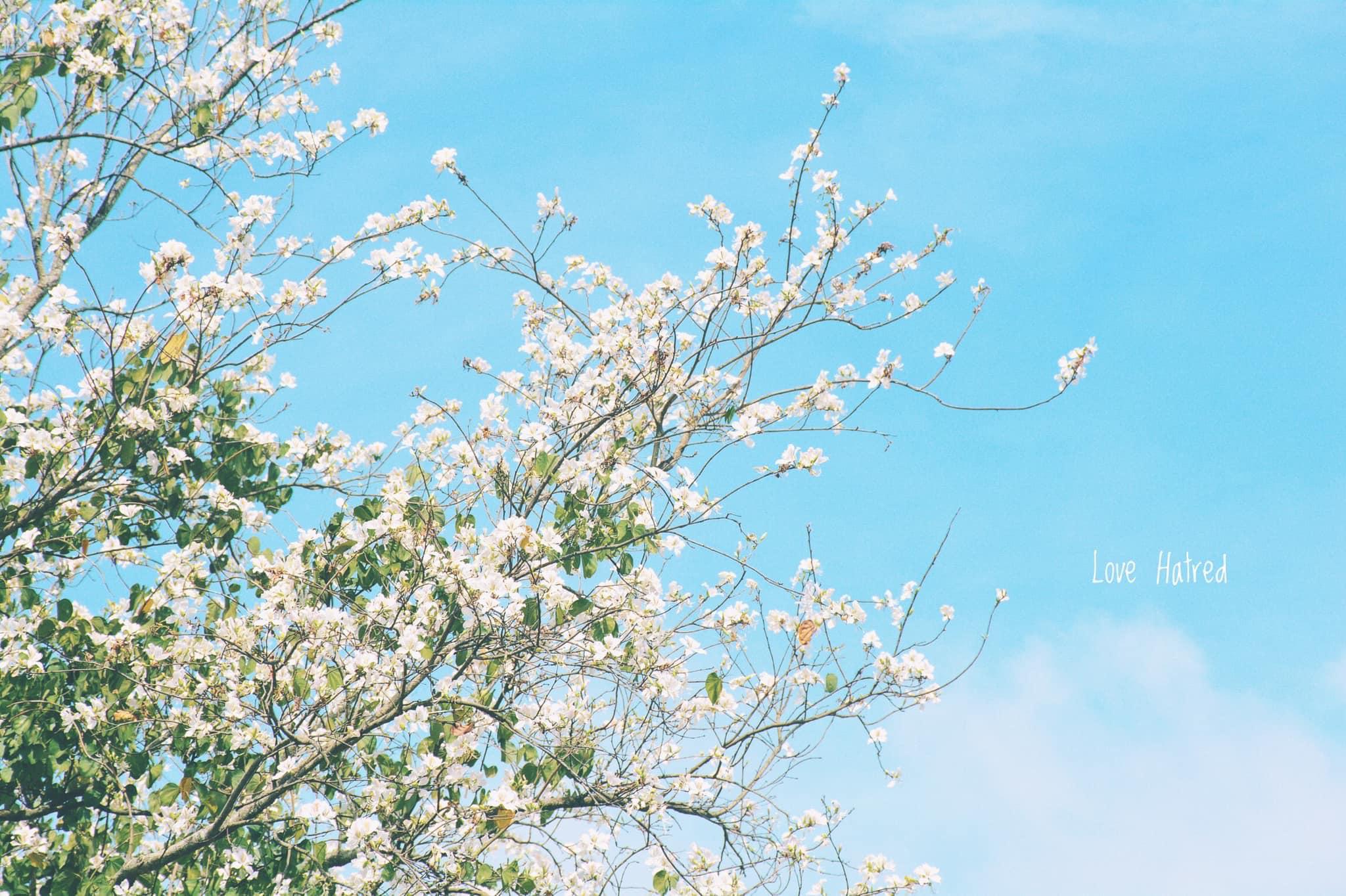 Hoa ban trắng tô điểm thêm vẻ đẹp lãng mạn của phố hoa.