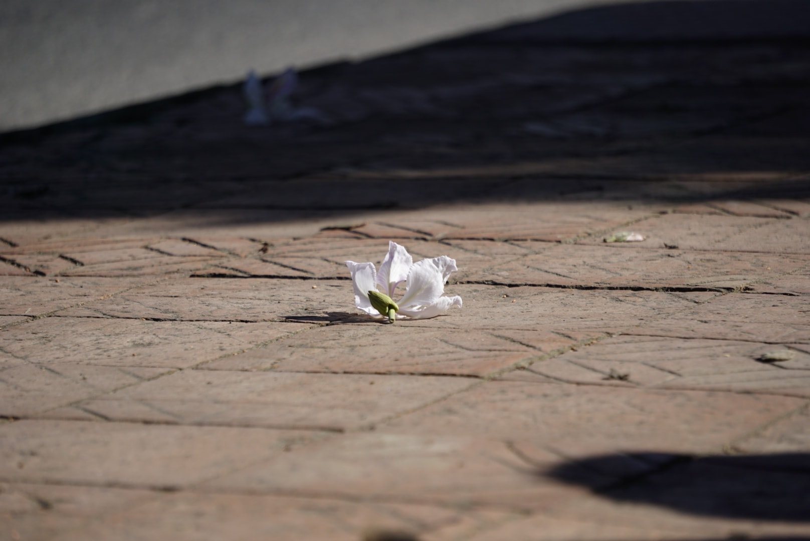 Hoa ban trắng Đà Lạt