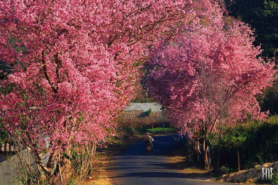 Mùa hoa mai anh đào Đà Lạt khoe sắc.